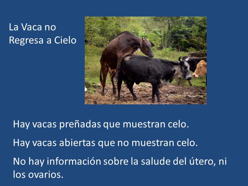 La Vaca no Regresa a Cielo Hay vacas preñadas que muestran celo. Hay vacas abiertas que no muestran celo. No hay información sobre la salude del útero