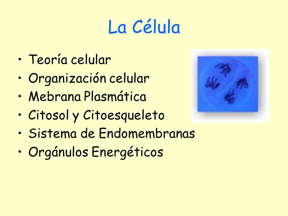 Citosol El citosol es el medio interno del citoplasma.