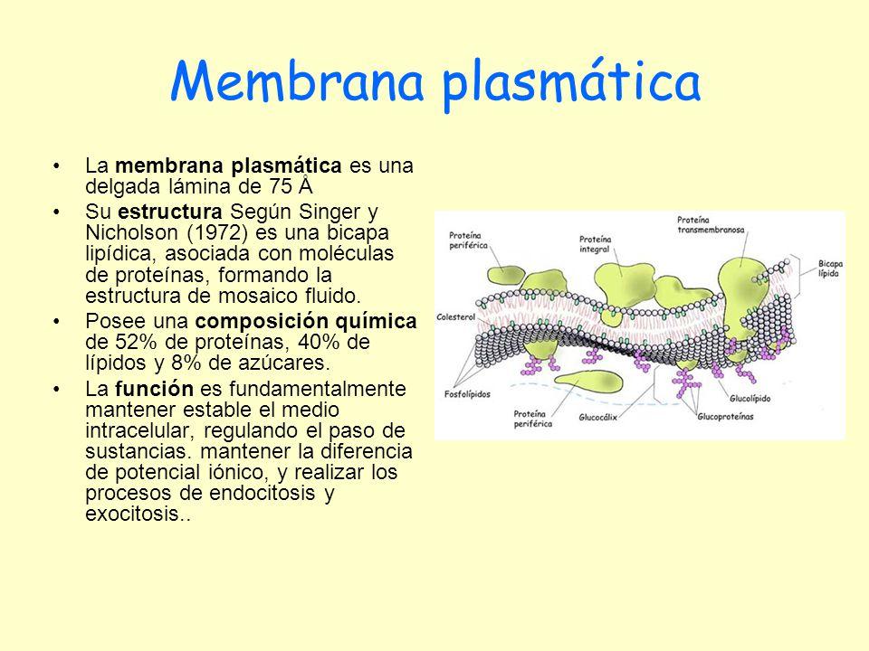 Membrana plasmática La membrana plasmática es una delgada lámina de 75 Å Su estructura Según Singer y Nicholson (1972) es una bicapa lipídica, asociad