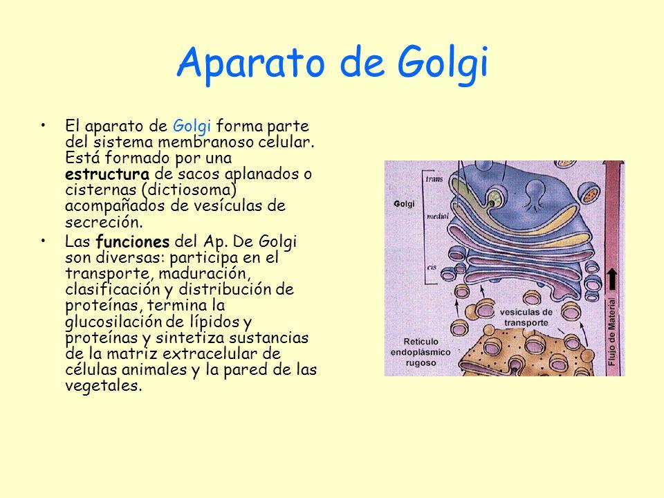 Aparato de Golgi El aparato de Golgi forma parte del sistema membranoso celular. Está formado por una estructura de sacos aplanados o cisternas (dicti