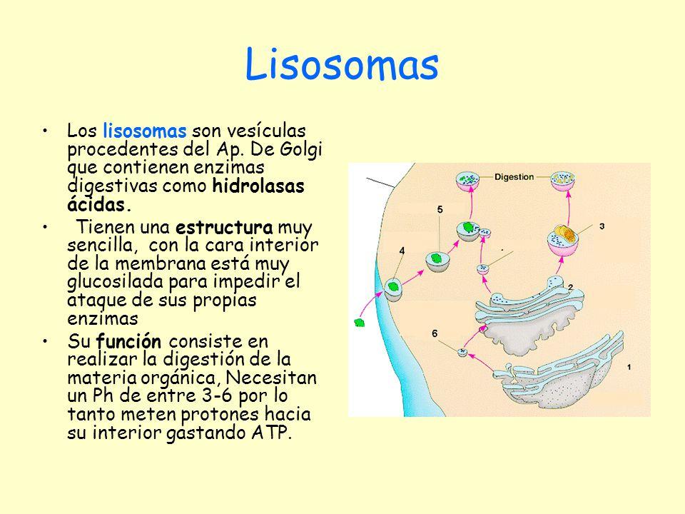 Lisosomas Los lisosomas son vesículas procedentes del Ap. De Golgi que contienen enzimas digestivas como hidrolasas ácidas. Tienen una estructura muy