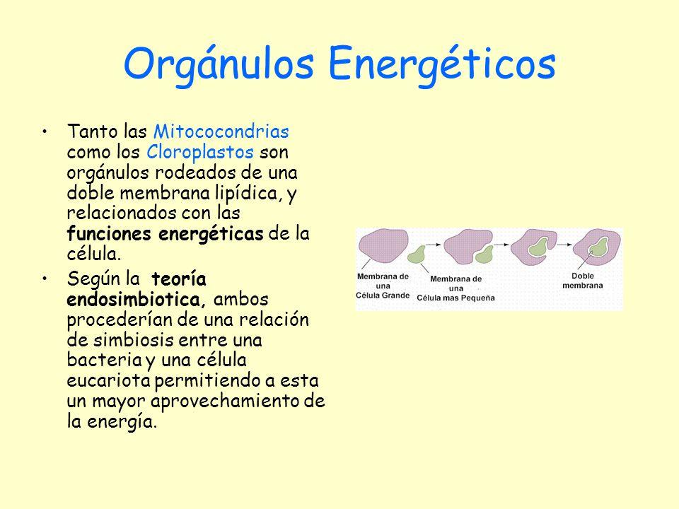 Tanto las Mitococondrias como los Cloroplastos son orgánulos rodeados de una doble membrana lipídica, y relacionados con las funciones energéticas de