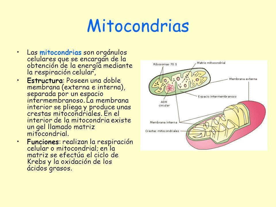 Mitocondrias Las mitocondrias son orgánulos celulares que se encargan de la obtención de la energía mediante la respiración celular, Estructura: Posee