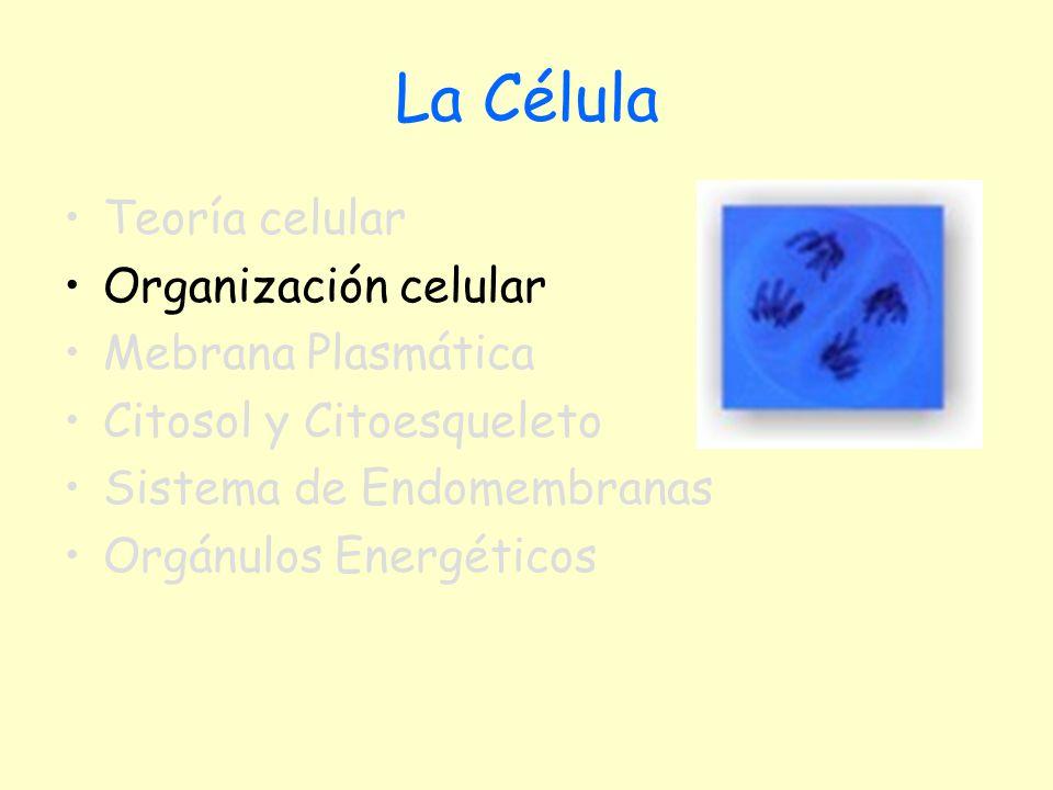 La Célula Teoría celular Organización celular Mebrana Plasmática Citosol y Citoesqueleto Sistema de Endomembranas Orgánulos Energéticos
