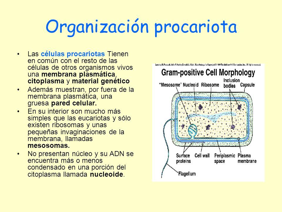 Organización procariota Las células procariotas Tienen en común con el resto de las células de otros organismos vivos una membrana plasmática, citopla