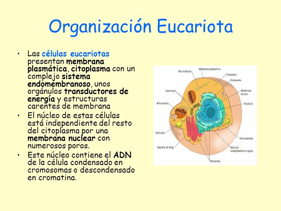 Organización Eucariota Las células eucariotas presentan membrana plasmática, citoplasma con un complejo sistema endomembranoso, unos orgánulos transdu