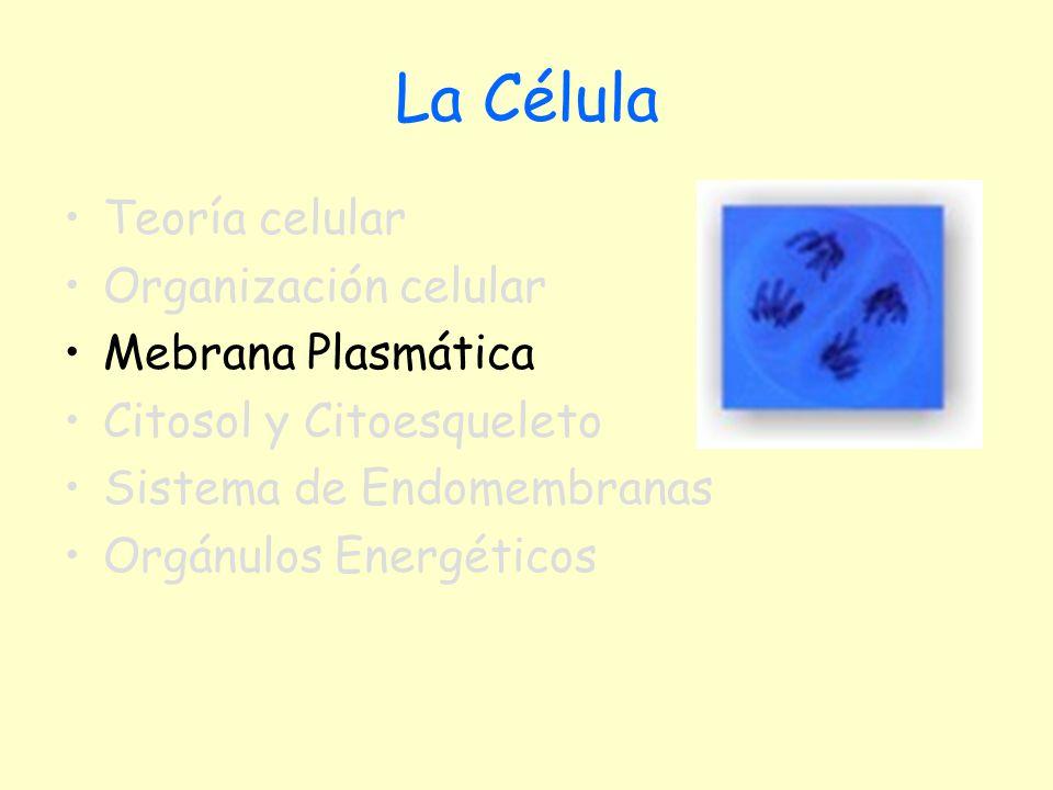 Membrana plasmática La membrana plasmática es una delgada lámina de 75 Å Su estructura Según Singer y Nicholson (1972) es una bicapa lipídica, asociada con moléculas de proteínas, formando la estructura de mosaico fluido.