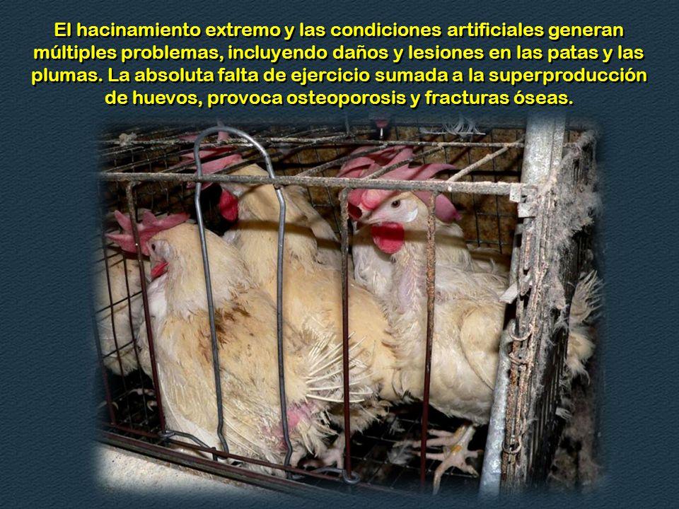 Las estadísticas de 1940 indicaban una producción de 134 huevos por gallina al año, esto nos demuestra las manipulaciones genéticas y ambientales que