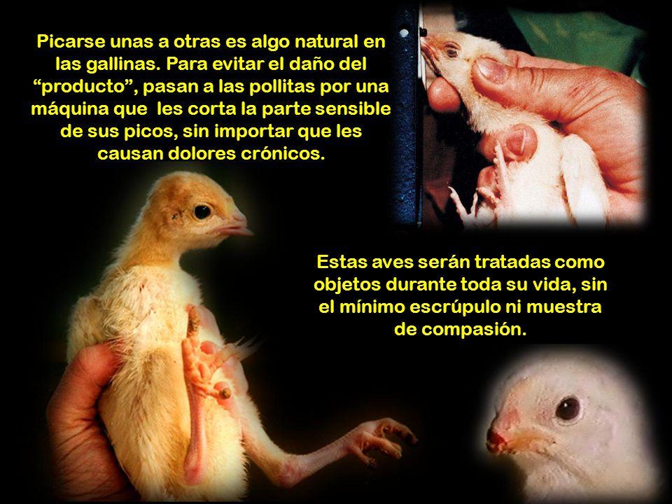Una gallina, al producir huevos, gasta en un año una cantidad de calcio superior a la de su propio esqueleto. Al hacerla producir de manera antinatura
