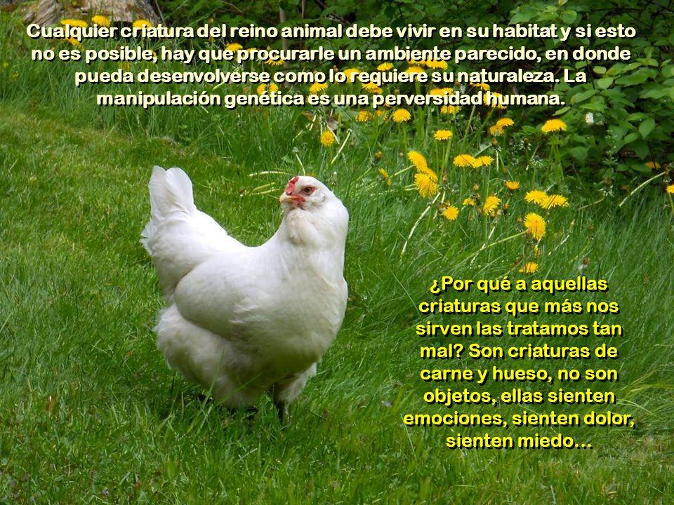 Después de un año, las gallinas dejan de ser rentables y se envían al matadero, son las