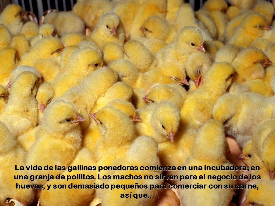 Pero aún hay más: Algunas de estas fábricas de huevos provocan la muda forzada : se deja a la gallinas sin comer ni beber durante dos semanas, a oscuras, provocando que todas cambien las plumas a la vez.