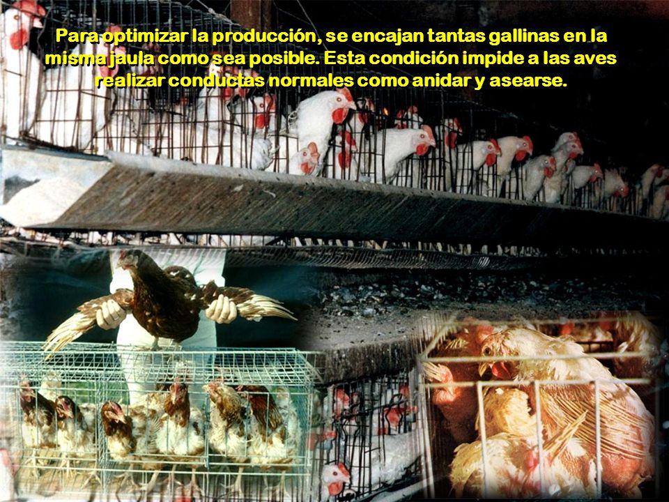 Para optimizar la producción, se encajan tantas gallinas en la misma jaula como sea posible.