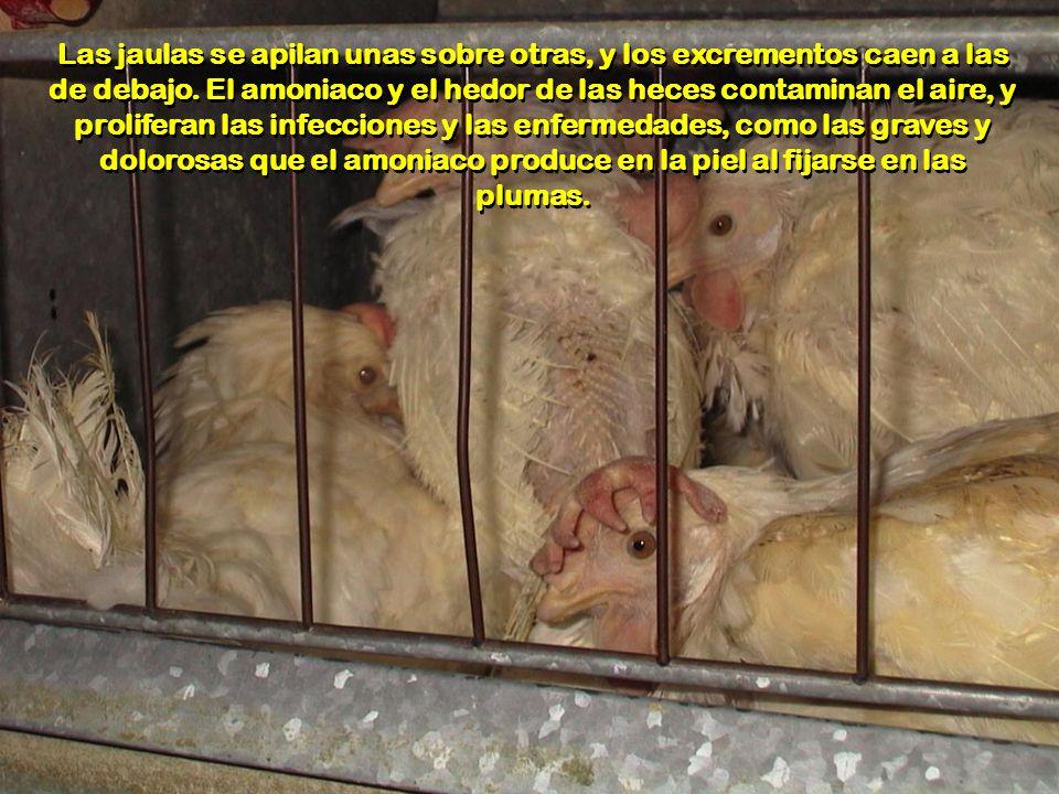 Para optimizar la producción, se encajan tantas gallinas en la misma jaula como sea posible. Esta condición impide a las aves realizar conductas norma