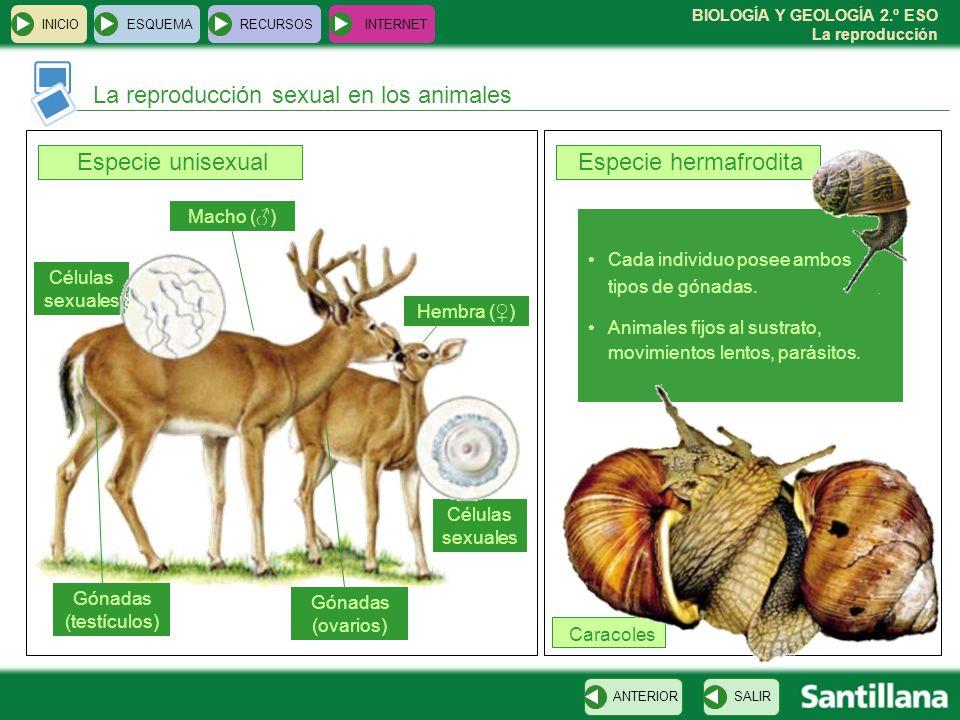 BIOLOGÍA Y GEOLOGÍA 2.º ESO La reproducción Cada individuo posee ambos tipos de gónadas.
