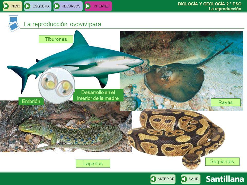 BIOLOGÍA Y GEOLOGÍA 2.º ESO La reproducción Tiburones INICIOESQUEMARECURSOSINTERNET La reproducción ovovivípara SALIRANTERIOR Rayas Serpientes Lagartos Desarrollo en el interior de la madre Embrión