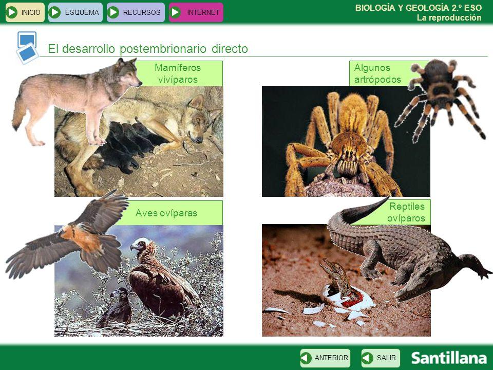 BIOLOGÍA Y GEOLOGÍA 2.º ESO La reproducción Algunos artrópodos Aves ovíparas Mamíferos vivíparos INICIOESQUEMARECURSOSINTERNET El desarrollo postembrionario directo SALIRANTERIOR Reptiles ovíparos