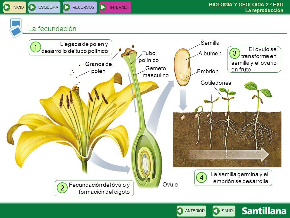 BIOLOGÍA Y GEOLOGÍA 2.º ESO La reproducción Llegada de polen y desarrollo de tubo polínico INICIOESQUEMARECURSOSINTERNET La fecundación SALIRANTERIOR Granos de polen 1 Fecundación del óvulo y formación del cigoto 2 Tubo polínico Óvulo Gameto masculino Embrión Albumen Semilla Cotiledones El óvulo se transforma en semilla y el ovario en fruto 3 La semilla germina y el embrión se desarrolla 4