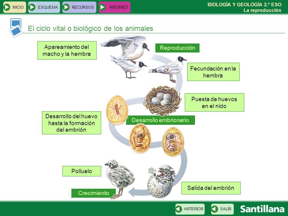 BIOLOGÍA Y GEOLOGÍA 2.º ESO La reproducción Crecimiento Desarrollo embrionario INICIOESQUEMARECURSOSINTERNET El ciclo vital o biológico de los animales SALIRANTERIOR Apareamiento del macho y la hembra Reproducción Fecundación en la hembra Puesta de huevos en el nido Desarrollo del huevo hasta la formación del embrión Salida del embrión Polluelo