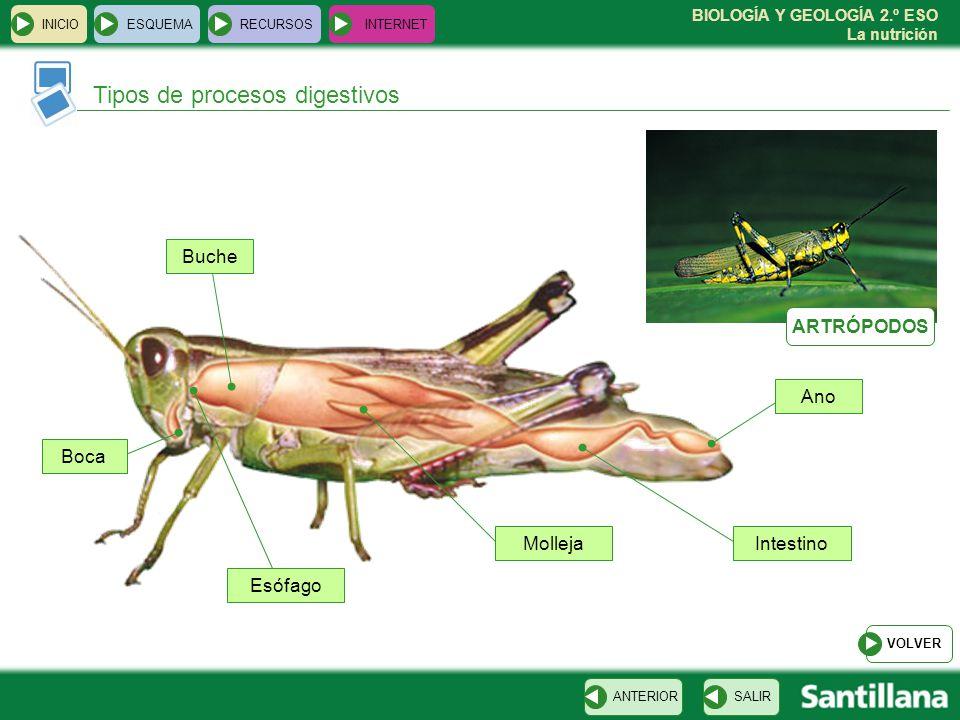 BIOLOGÍA Y GEOLOGÍA 2.º ESO La nutrición INICIOESQUEMARECURSOSINTERNET Tipos de procesos digestivos SALIRANTERIOR VOLVER Molleja Esófago Buche Boca In