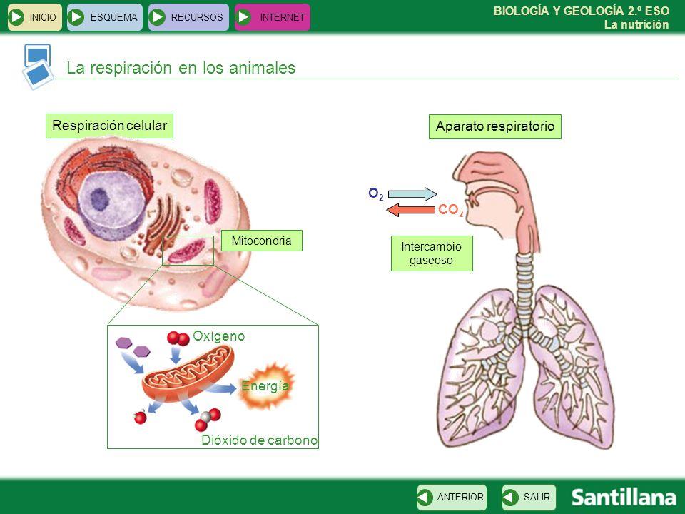 BIOLOGÍA Y GEOLOGÍA 2.º ESO La nutrición INICIOESQUEMARECURSOSINTERNET La respiración en los animales SALIRANTERIOR Respiración celular Oxígeno Energí