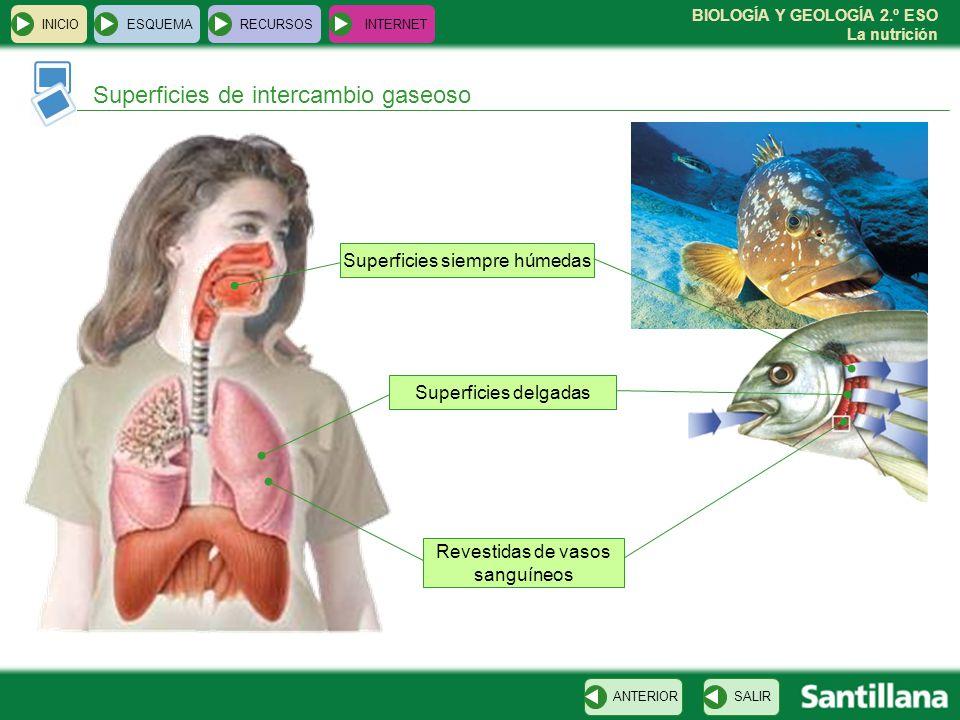 BIOLOGÍA Y GEOLOGÍA 2.º ESO La nutrición Superficies de intercambio gaseoso INICIOESQUEMARECURSOSINTERNET SALIRANTERIOR Superficies delgadas Superfici