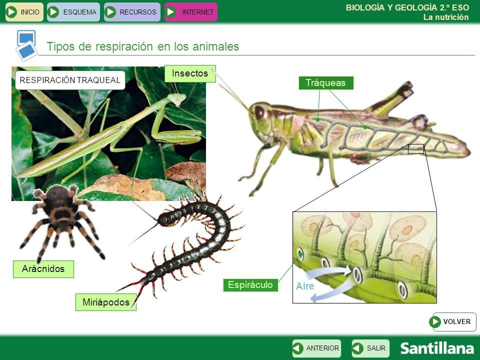 BIOLOGÍA Y GEOLOGÍA 2.º ESO La nutrición Insectos Miriápodos Arácnidos INICIOESQUEMARECURSOSINTERNET Tipos de respiración en los animales SALIRANTERIO