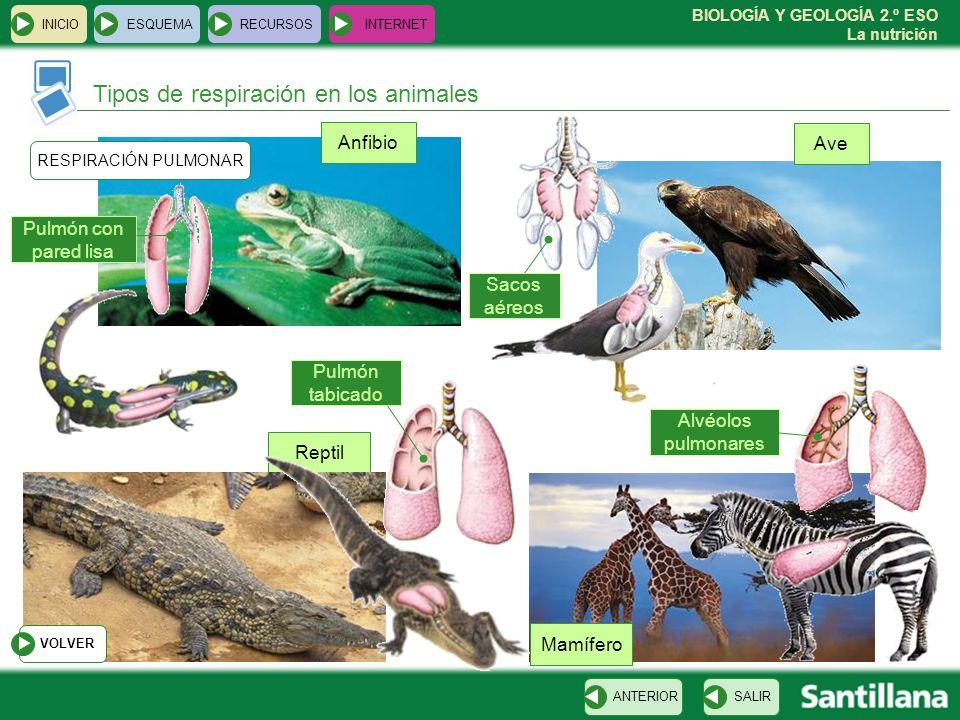 BIOLOGÍA Y GEOLOGÍA 2.º ESO La nutrición Reptil INICIOESQUEMARECURSOSINTERNET Tipos de respiración en los animales SALIRANTERIOR RESPIRACIÓN PULMONAR