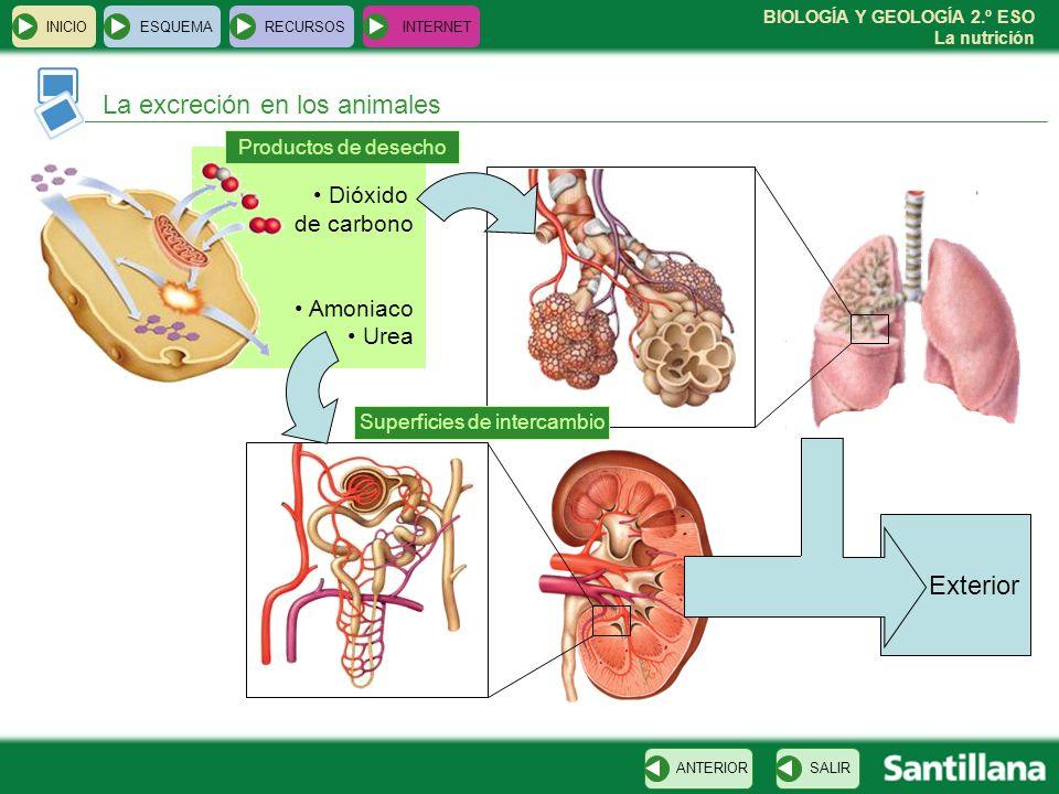 BIOLOGÍA Y GEOLOGÍA 2.º ESO La nutrición Exterior Dióxido de carbono Amoniaco Urea INICIOESQUEMARECURSOSINTERNET La excreción en los animales SALIRANT