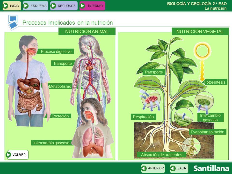 BIOLOGÍA Y GEOLOGÍA 2.º ESO La nutrición Procesos implicados en la nutrición INICIOESQUEMARECURSOSINTERNET SALIRANTERIOR NUTRICIÓN VEGETALNUTRICIÓN AN