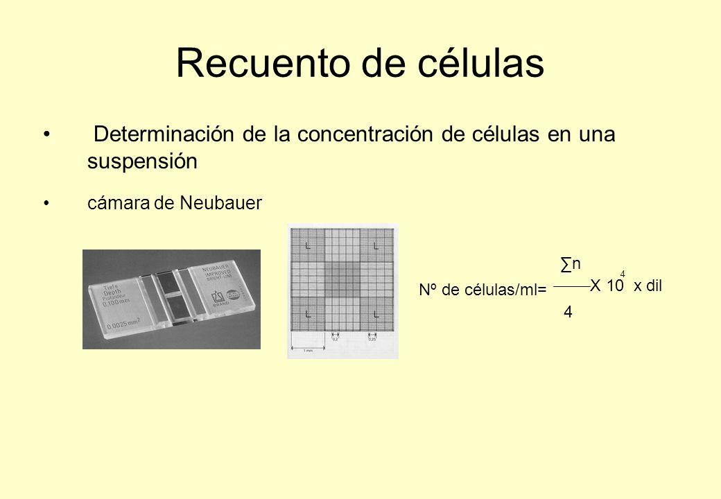 Recuento de células Determinación de la concentración de células en una suspensión cámara de Neubauer Nº de células/ml= n 4 X 10 x dil 4