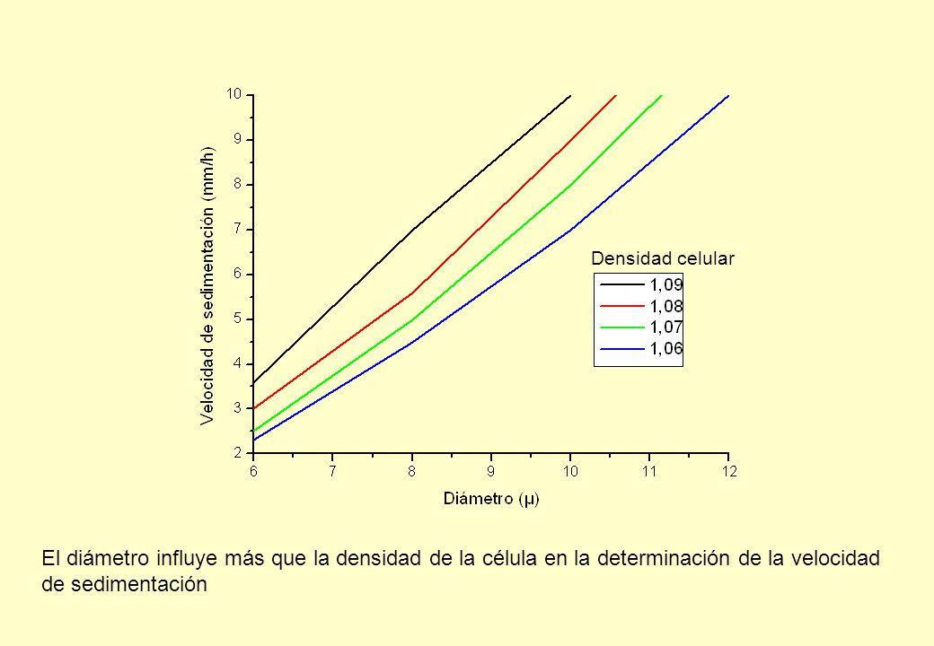 Densidad celular El diámetro influye más que la densidad de la célula en la determinación de la velocidad de sedimentación