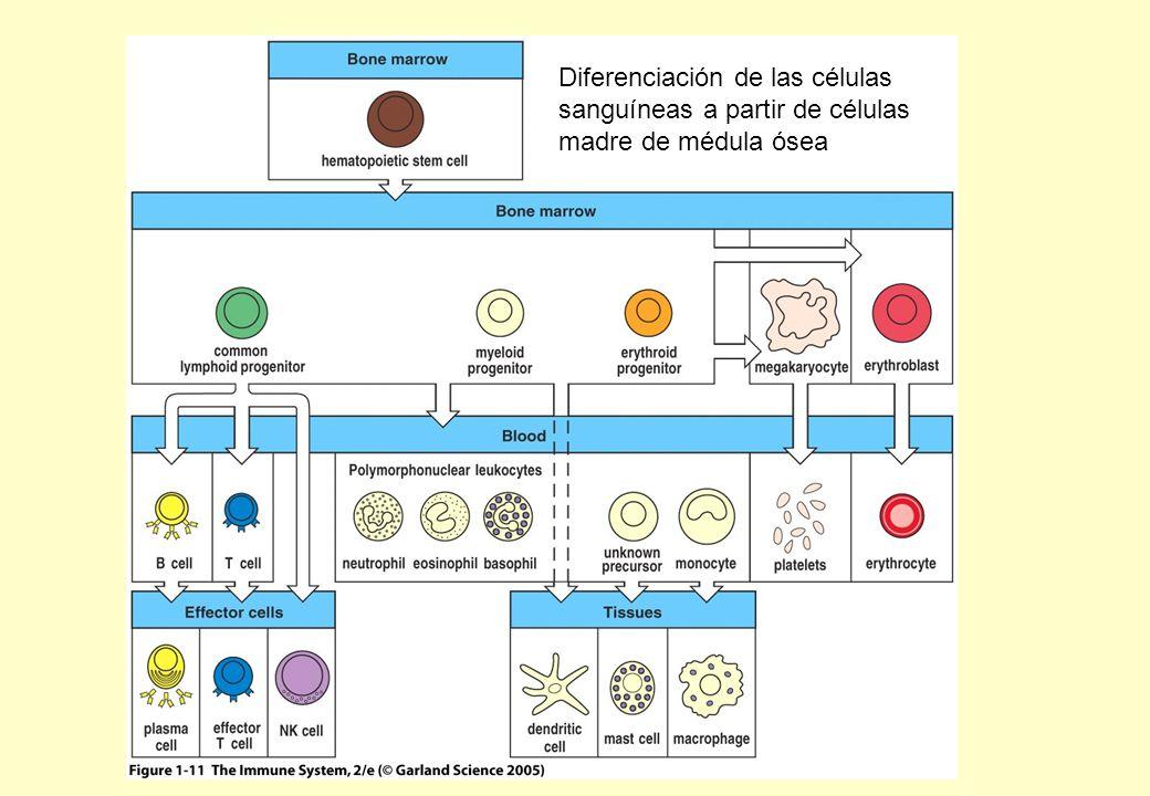 Métodos basados en la separación funcional por inactivación de células proliferantes 1- Pulso de timidina marcada con radioisótopos Linfocitos expuestos a Ag o mitógenos se dividen y la timidina se incorpora al ADN La desintegración radioactiva mata las células proliferantes.