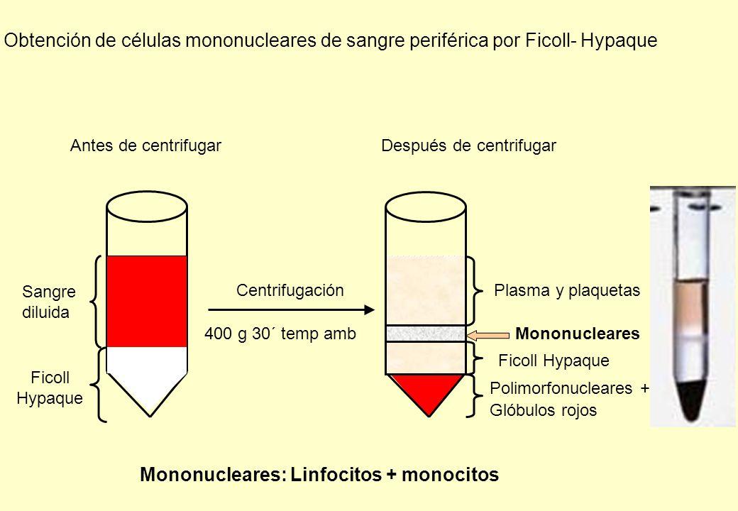 Obtención de células mononucleares de sangre periférica por Ficoll- Hypaque Antes de centrifugar Sangre diluida Ficoll Hypaque CentrifugaciónPlasma y plaquetas Mononucleares Ficoll Hypaque Polimorfonucleares + Glóbulos rojos Mononucleares: Linfocitos + monocitos 400 g 30´ temp amb Después de centrifugar