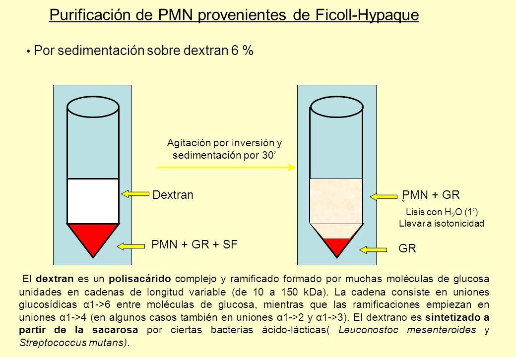 Purificación de PMN provenientes de Ficoll-Hypaque Por sedimentación sobre dextran 6 % Lisis con H 2 O (1) Llevar a isotonicidad PMN + GR * GR Dextran PMN + GR + SF Agitación por inversión y sedimentación por 30 El dextran es un polisacárido complejo y ramificado formado por muchas moléculas de glucosa unidades en cadenas de longitud variable (de 10 a 150 kDa).