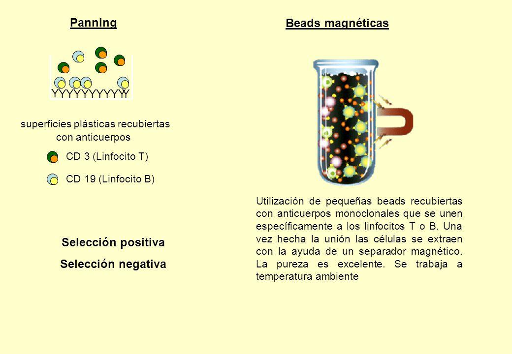Panning Utilización de pequeñas beads recubiertas con anticuerpos monoclonales que se unen específicamente a los linfocitos T o B. Una vez hecha la un