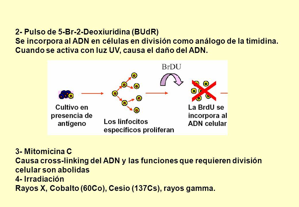 2- Pulso de 5-Br-2-Deoxiuridina (BUdR) Se incorpora al ADN en células en división como análogo de la timidina. Cuando se activa con luz UV, causa el d