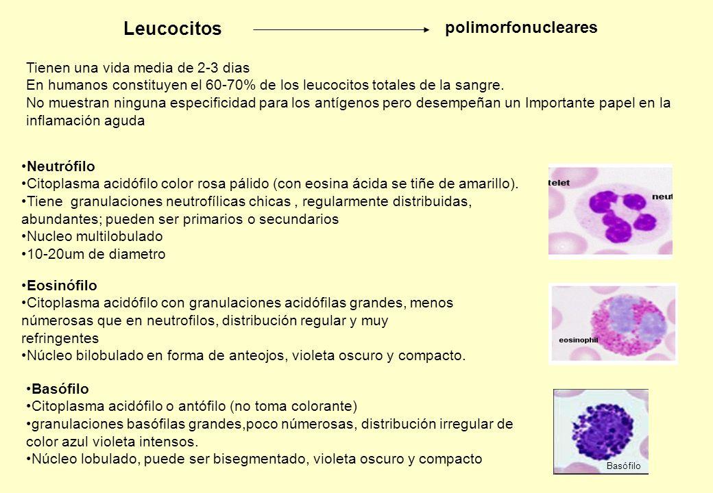Leucocitos polimorfonucleares Neutrófilo Citoplasma acidófilo color rosa pálido (con eosina ácida se tiñe de amarillo). Tiene granulaciones neutrofíli
