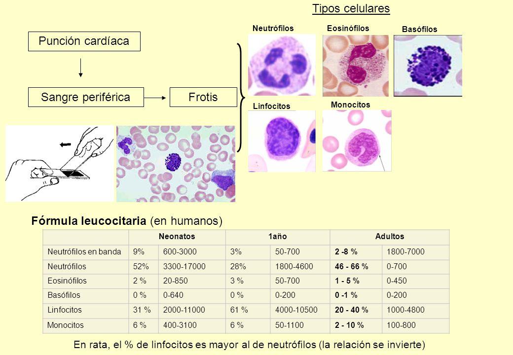 Sangre periférica Neonatos1añoAdultos Neutrófilos en banda9%600-30003%50-7002 -8 %1800-7000 Neutrófilos52%3300-1700028%1800-460046 - 66 %0-700 Eosinófilos2 %20-8503 %50-7001 - 5 %0-450 Basófilos0 %0-6400 %0-2000 -1 %0-200 Linfocitos31 %2000-1100061 %4000-1050020 - 40 %1000-4800 Monocitos6 %400-31006 %50-11002 - 10 %100-800 Punción cardíaca Frotis Fórmula leucocitaria (en humanos) Tipos celulares Neutrófilos Linfocitos Basófilos Eosinófilos Monocitos En rata, el % de linfocitos es mayor al de neutrófilos (la relación se invierte)