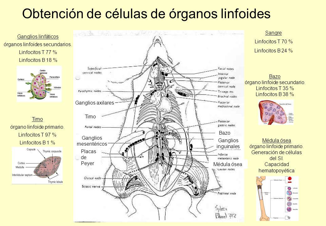 Ganglios axilares Timo Ganglios mesentéricos Ganglios inguinales Placas de Peyer Bazo Ganglios linfáticos órganos linfoides secundarios.
