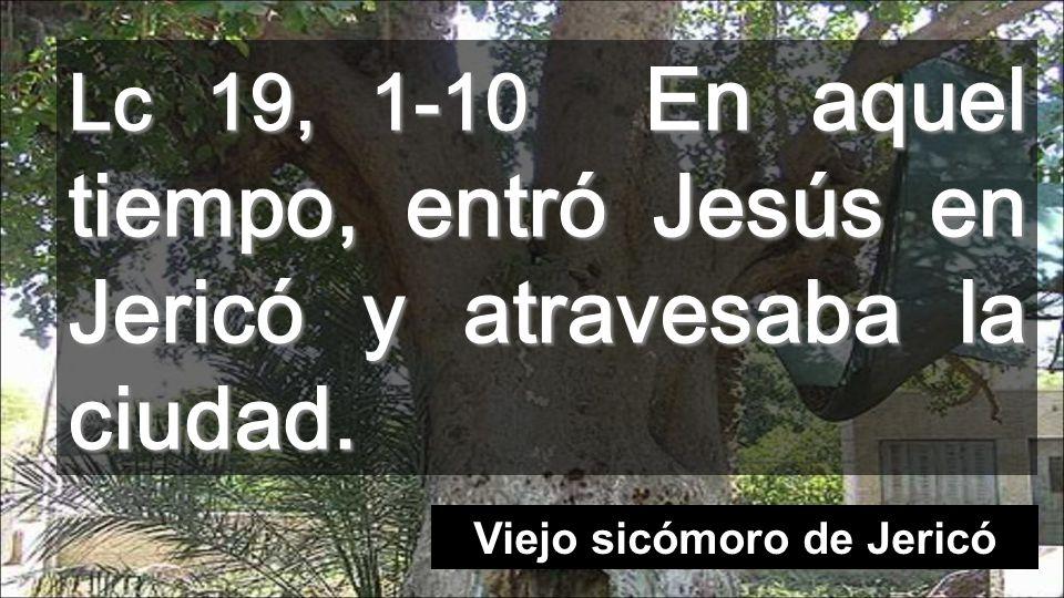 Lc 19, 1-10 En aquel tiempo, entró Jesús en Jericó y atravesaba la ciudad. Viejo sicómoro de Jericó