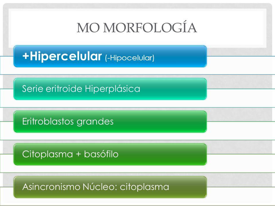 MO MORFOLOGÍA +Hipercelular (-Hipocelular) Serie eritroide HiperplásicaEritroblastos grandesCitoplasma + basófiloAsincronismo Núcleo: citoplasma
