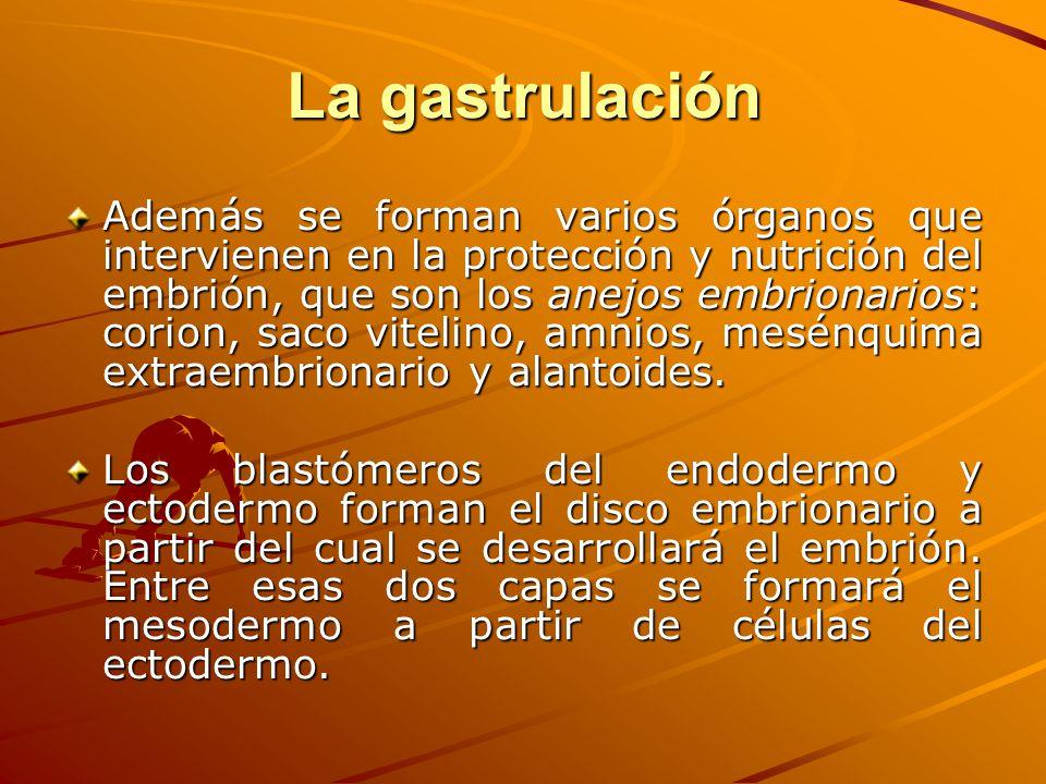 La gastrulación Además se forman varios órganos que intervienen en la protección y nutrición del embrión, que son los anejos embrionarios: corion, sac