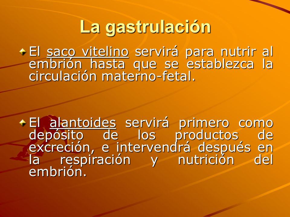 La gastrulación El saco vitelino servirá para nutrir al embrión hasta que se establezca la circulación materno-fetal. El alantoides servirá primero co