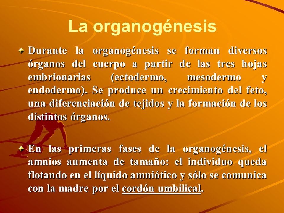 La organogénesis Durante la organogénesis se forman diversos órganos del cuerpo a partir de las tres hojas embrionarias (ectodermo, mesodermo y endode