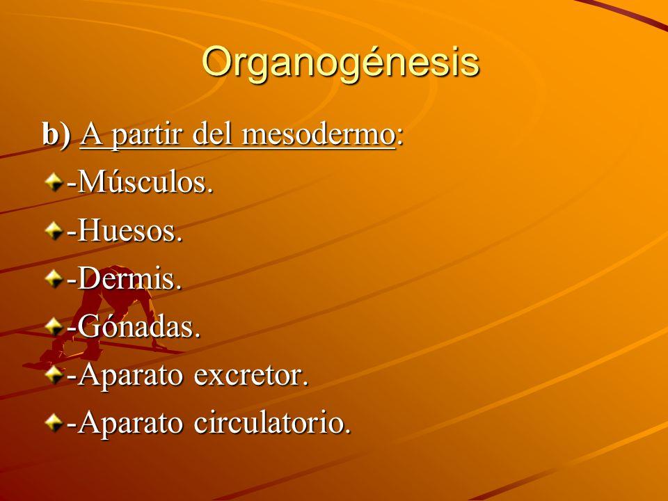 b) A partir del mesodermo: -Músculos.-Huesos.-Dermis.-Gónadas. -Aparato excretor. -Aparato circulatorio. Organogénesis