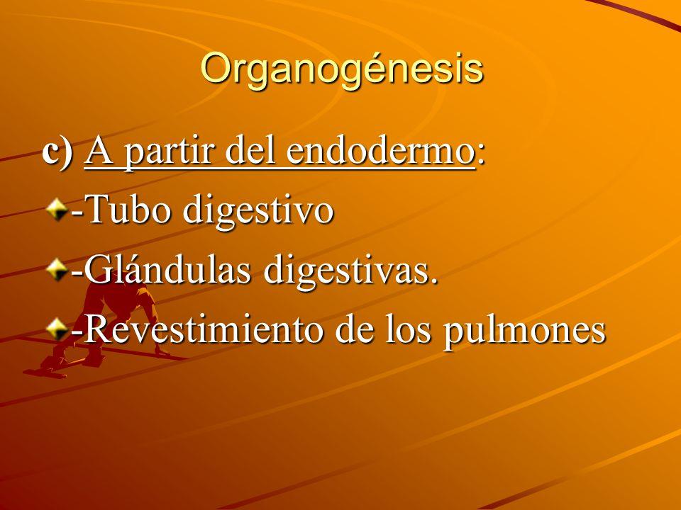c) A partir del endodermo: -Tubo digestivo -Glándulas digestivas. -Revestimiento de los pulmones Organogénesis