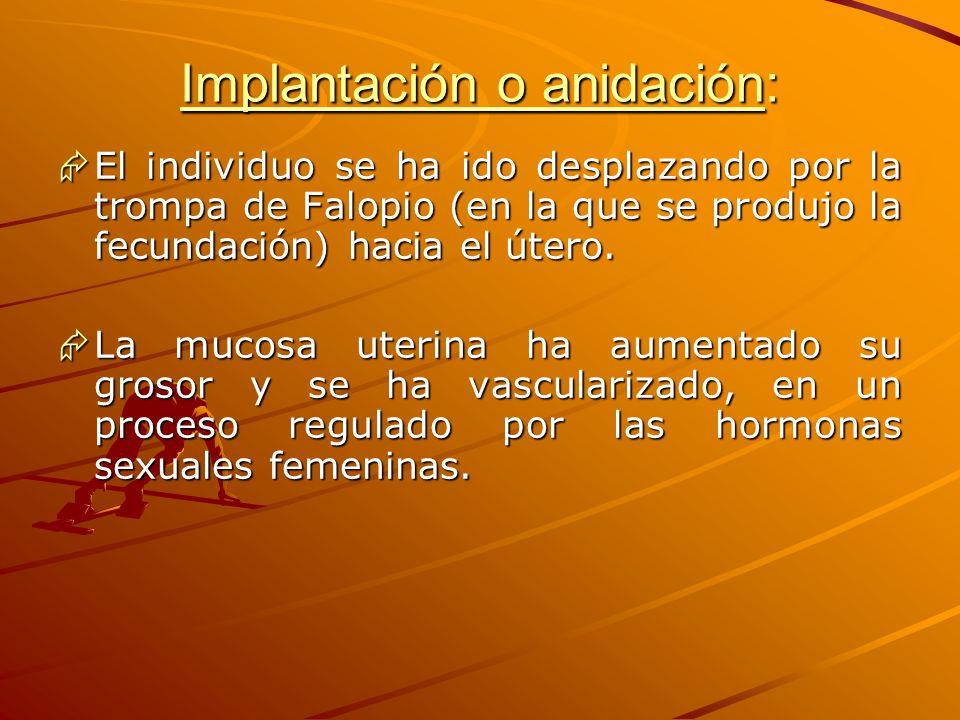 Implantación o anidación: El individuo se ha ido desplazando por la trompa de Falopio (en la que se produjo la fecundación) hacia el útero. El individ