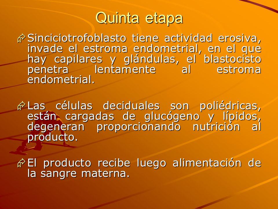 Quinta etapa Sinciciotrofoblasto tiene actividad erosiva, invade el estroma endometrial, en el que hay capilares y glándulas, el blastocisto penetra l