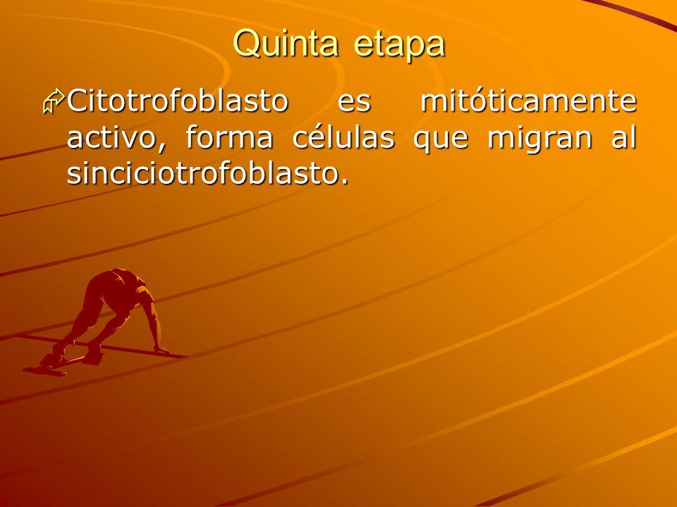 Quinta etapa Citotrofoblasto es mitóticamente activo, forma células que migran al sinciciotrofoblasto. Citotrofoblasto es mitóticamente activo, forma