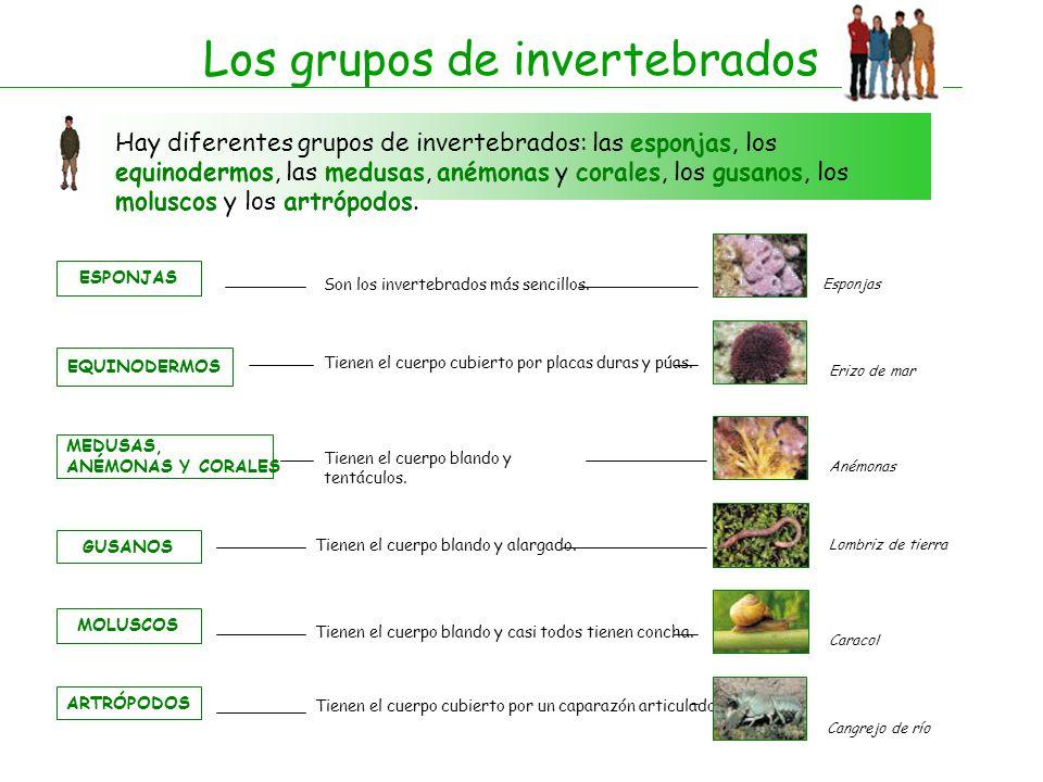 Los grupos de invertebrados Hay diferentes grupos de invertebrados: las esponjas, los equinodermos, las medusas, anémonas y corales, los gusanos, los